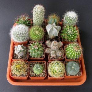 Kaktus_maly_mix_DK20_[382]_568